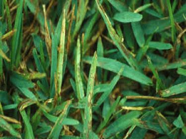 Lawn Treatment for Grey Leaf Spot Fungus