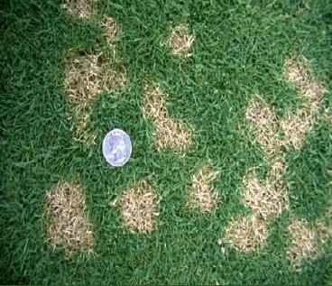 How to treat dollar spot fungus